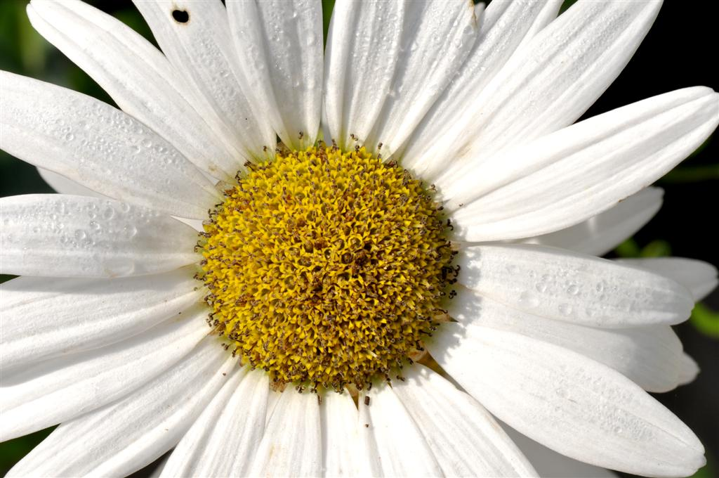 Daisy in August