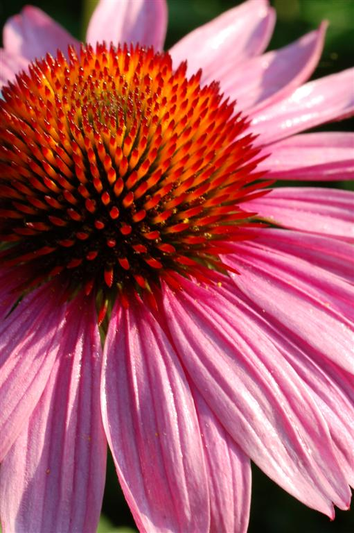 Purple Coneflower Detail 3