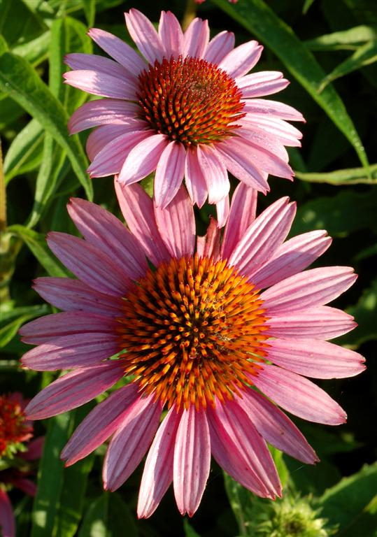 Two Purple Coneflowers