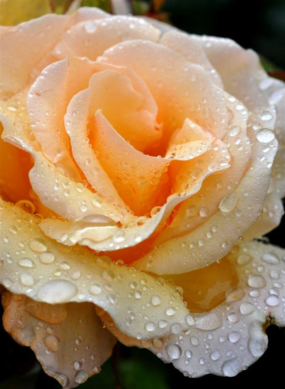 Rose and Raindrops 1