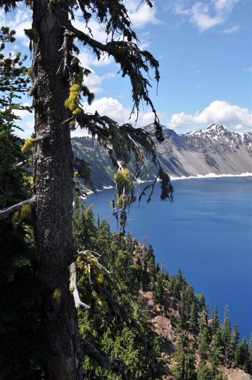 Tree, Crater Lake 1