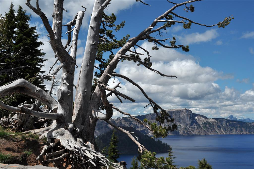 Tree, Crater Lake 2