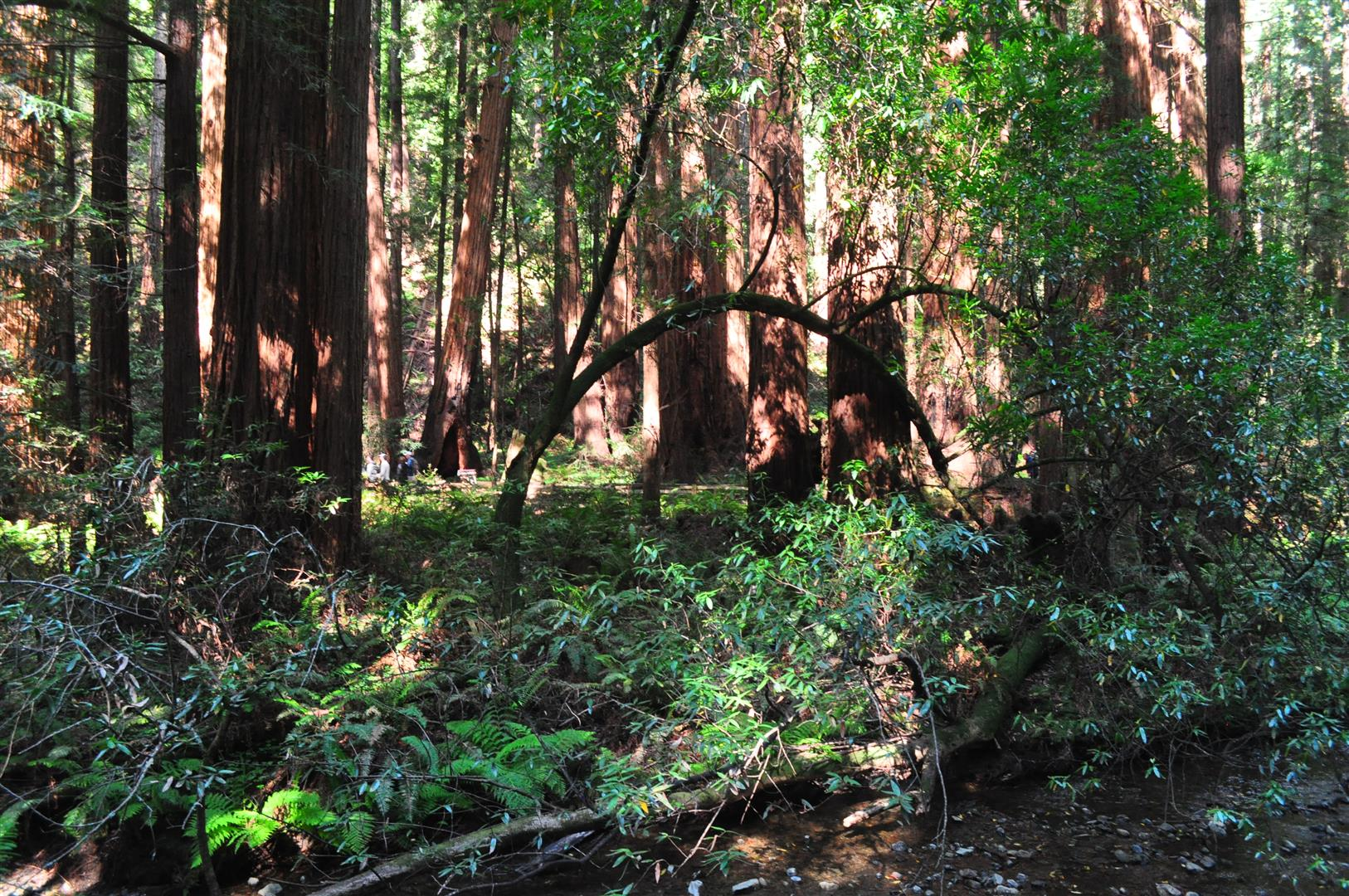 Muir Woods Redwoods 2